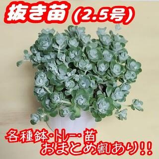 【抜き苗】白雪ミセバヤ 多肉植物 セダム 紅葉 プレステラ プラ鉢(その他)