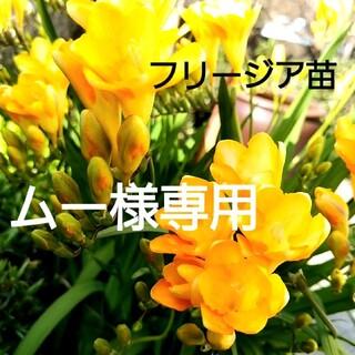 フリージア苗 10芽 球根 草花 花苗木 黄色(その他)