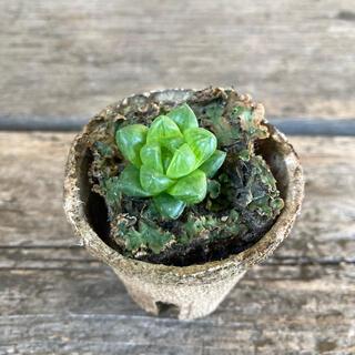 多肉植物 ウンブラティコラ ハオルチア(その他)