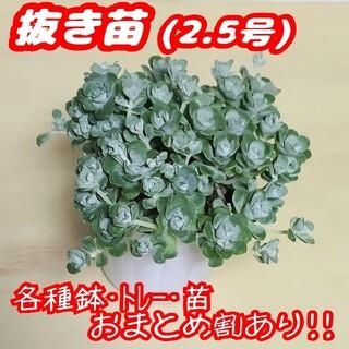 【抜き苗】白雪ミセバヤ 多肉植物 セダム 紅葉 プレステラ プラ鉢