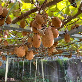 愛知県産 無農薬のグリーンキウイ 2キロ(フルーツ)