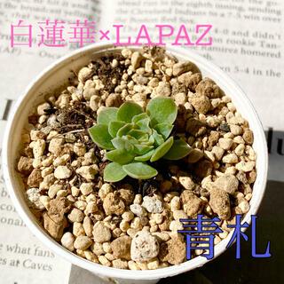 多肉植物 おらいさん★青札(札無し)白蓮華×LAPAZ 小苗(その他)
