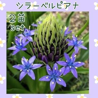 シラーペルピアナ  2株(その他)