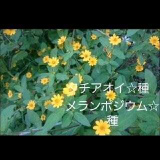 メランポジウム☆タチアオイ☆種(プランター)