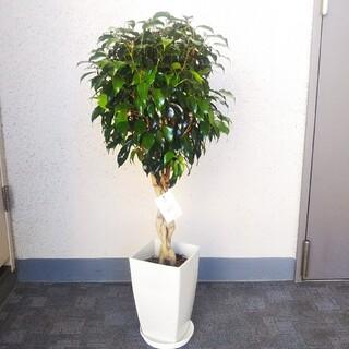 希少種レア‼️①ベンジャミンブラックねじり❗️黒み帯びた葉‼️受皿付(プランター)