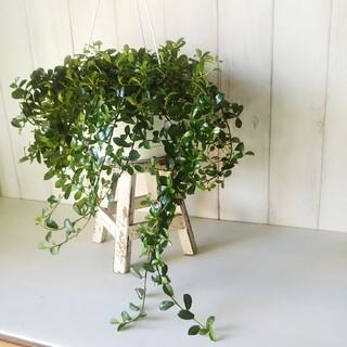 希少種❗️①フィカスシャングリラ❗️つる性ガジュマル!6号!幸福を呼縁起観葉植物(プランター)