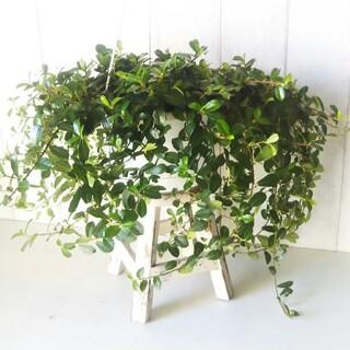 希少種❗️②フィカスシャングリラ❗️つる性ガジュマル!6号!幸福を呼縁起観葉植物(プランター)