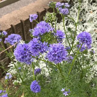 ギリアレプタンサ 花の種100粒
