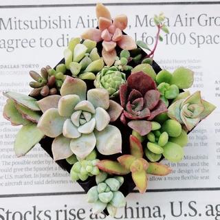 ピンクプリティ入り★多肉植物カット苗