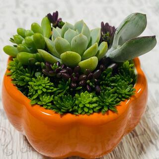 多肉植物チマ寄せ♡ 多肉植物寄せ植え 多肉植物そのまま飾れる