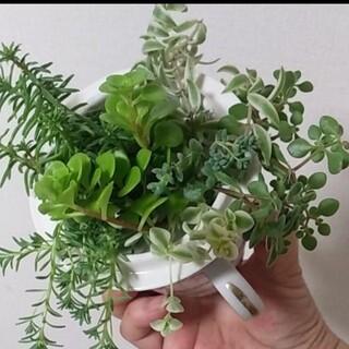 多肉植物セダム 寄せ植え用カット苗 21本(プランター)