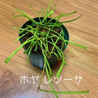 観葉植物 ホヤ レツーサ 苗(プランター)