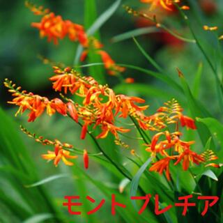 モントブレチア 姫檜扇水仙 50球(プランター)