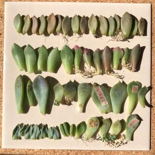 葉挿しセット❤︎多肉植物❤︎韓国苗(その他)