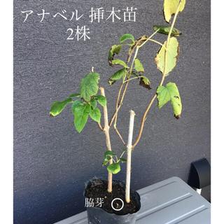 ***アナベル 挿木苗 2株 ***
