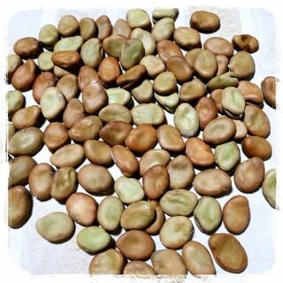 そら豆の種♡50粒