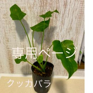 観葉植物 クッカバラ 苗