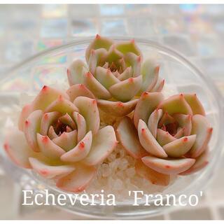 多肉植物 エケベリア *  フランコ カット苗 *