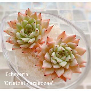 多肉植物 エケベリア *  オリジナルザラコーザhyb カット苗 *(その他)