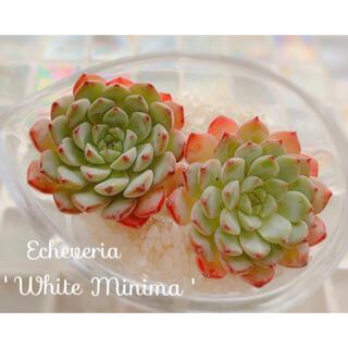 多肉植物 エケベリア *  ホワイトミニマ カット苗 *(その他)