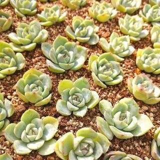 韓国苗 エケベリア ピンククリスタルローズ 多肉植物
