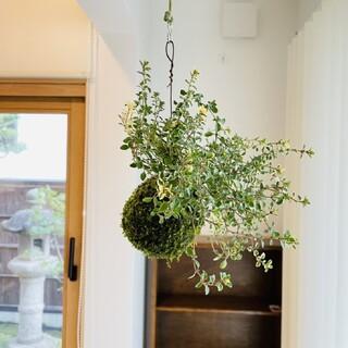 フォックスリータイムの苔玉 ハーブ 観葉植物(その他)