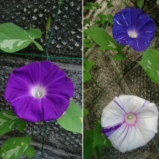 朝顔 天の紫涼 種(プランター)