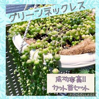 グリーンネックレス カット苗10センチ ×8本(その他)