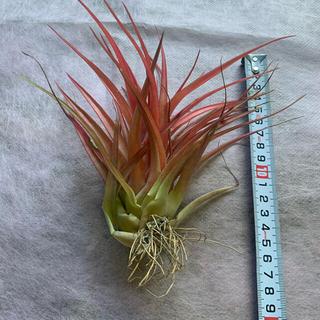 生花 チランジア ブラキカウロス 2個 エアプランツ 観葉植物(その他)