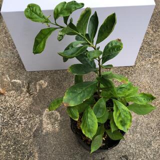ニオイバンマツリ苗 香り花(プランター)