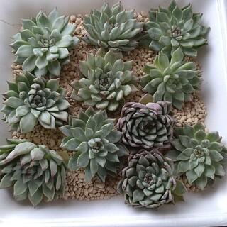 多肉植物 韓国苗オリジナルザラゴーサカット苗(その他)