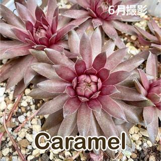 Caramel センペル(その他)
