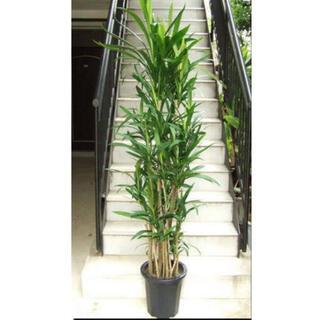 ✧丈夫で育てやすい「幸福の木」コルディリネ・ストリクター(青ドラセナ)✧1苗(プランター)