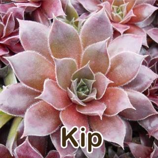 kip センペル(その他)