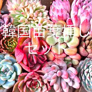 韓国苗 葉挿し10枚プラスα   多肉植物