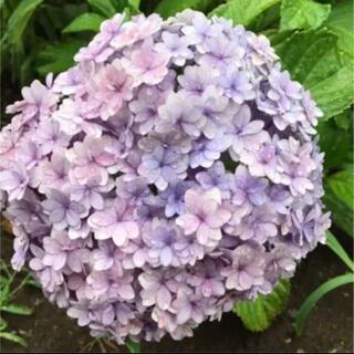 紫陽花 挿し木苗 てまりてまり