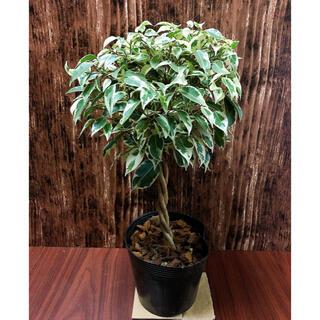 ベンジャミン スターライト 観葉植物 ハイドロカルチャー(プランター)