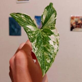 斑入りシンゴニウム カット苗 二株