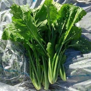 10/20迄!完全無農薬!新鮮採れたて新潟県産野沢菜2kg