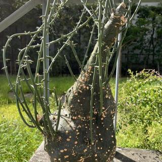 Adenia globosaアデニア グロボーサ 巨大サイズ 植木鉢(プランター)