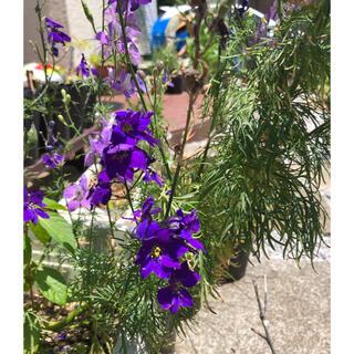 増量中 ラークスパー 千鳥草 チドリソウ 紫 種 たね 約200粒 (その他)