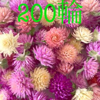 千日紅ドライフラワー200輪