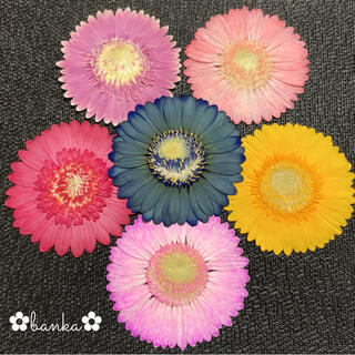 ✿押し花素材✿彩りガーベラ6輪セット【直径約7.5cm】