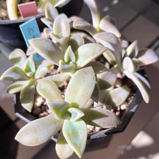 多肉植物《おぼろ月》朧月 鉢の中全部