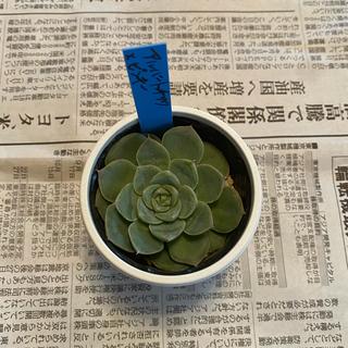 多肉植物 アルバートチワワ ピンキー(その他)