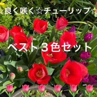 ☆良く咲く☆チューリップ☆球根☆