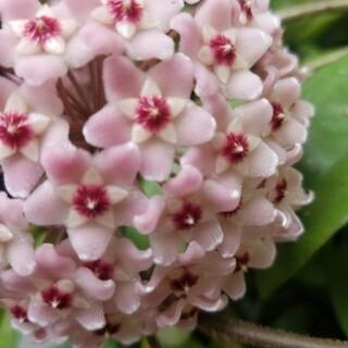 【希少】ホヤ サクララン  挿し木発根済み  L 観葉植物(プランター)