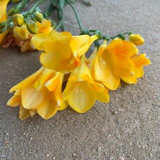 発芽率100%秋植えお勧め✰ ✧人気の王道フリージア黄色✧ 3球根✧(プランター)