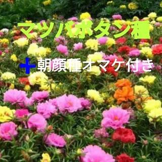 マツバボタン種 八重咲き(その他)