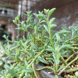 多肉植物 ドルフィンネックレス 10カット